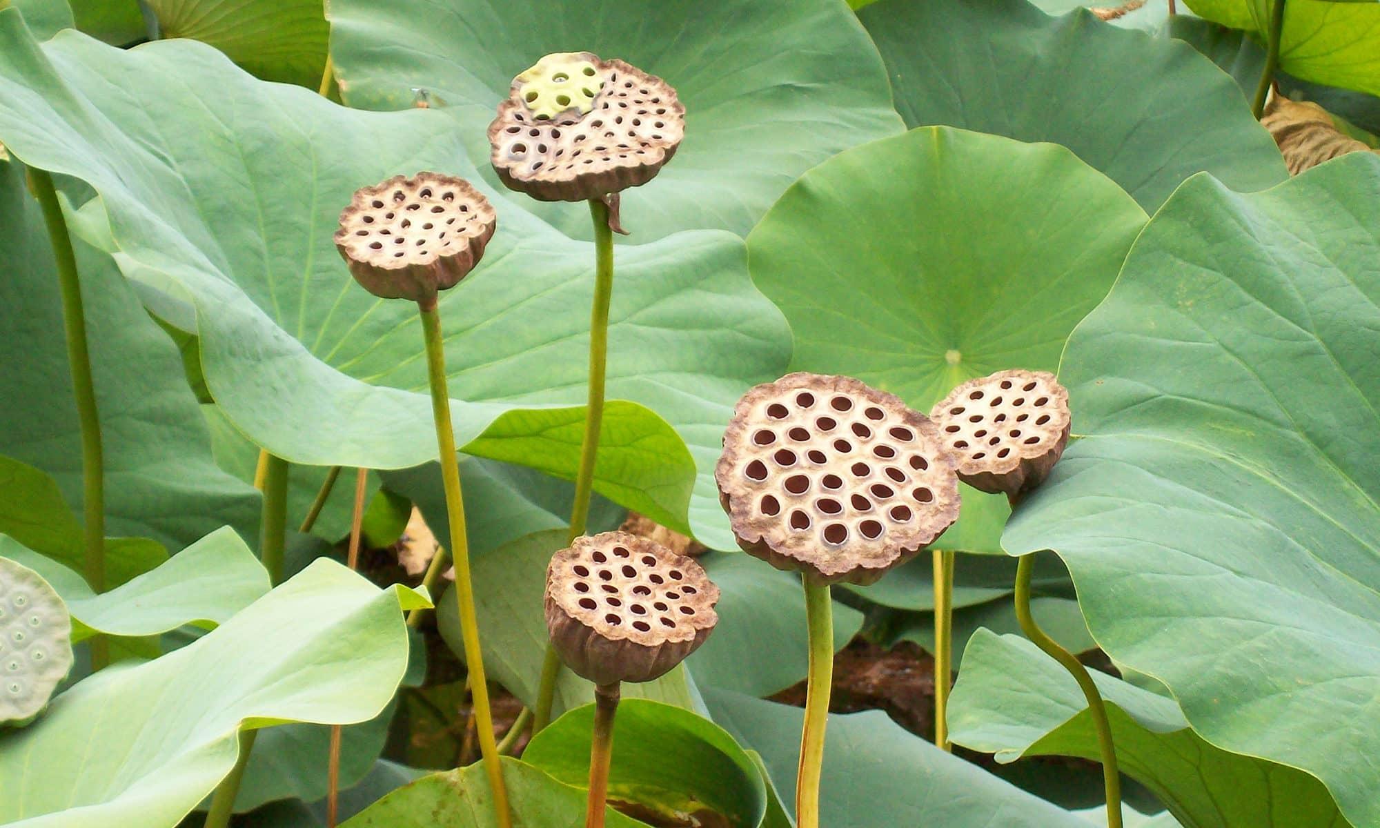 Lotus Flower Pod Disease